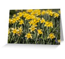 Field of Daffodil Flowers Greeting Card