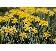 Field of Daffodil Flowers Photographic Print
