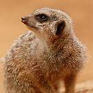 Meerkat  by miradorpictures