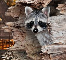 Raccoon in Log by Wild For Ever