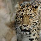 Amur leopard  by miradorpictures