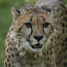 Cheetahs rest by miradorpictures