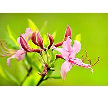 Pink Honeysuckle Flowers Photographic Print