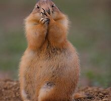 Prairie Dog with Funny Expression by William C. Gladish, World Design