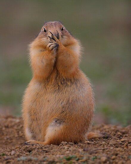 Prairie Dog with Funny Expression by William C. Gladish, World Design
