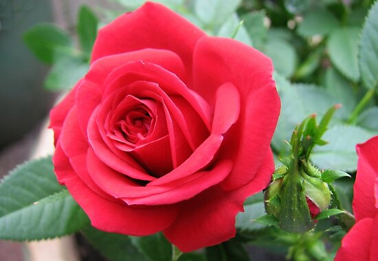 Red Miniature Rose and Bud by Kathryn Jones