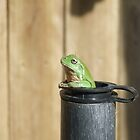 Green Tree Frog by mbutwell