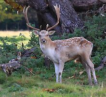 Stag by Dave646