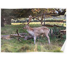 Fallow Stag Poster