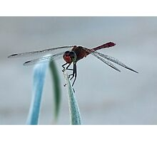 Dragonflies Photographic Print