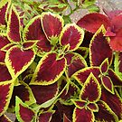 Stunning Coleus Leaves by MidnightMelody