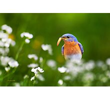 Bluebird with Worm Photographic Print