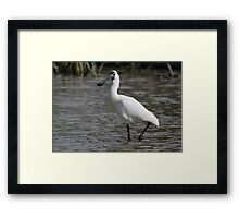 Royal Spoonbill #2, South Australia Framed Print
