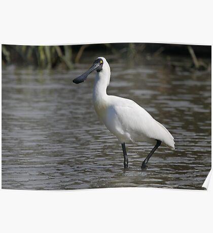 Royal Spoonbill #2, South Australia Poster