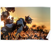 Cotton Field 12 Poster