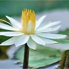 FROM MY WATER LILLY POND - the white waterlilly by Magriet Meintjes