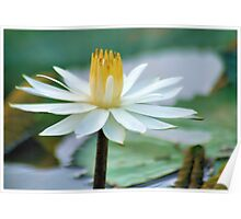FROM MY WATER LILLY POND - the white waterlilly Poster