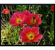 Pink Pops of Poppies Photographic Print