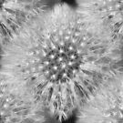 Fluffy White Dandelion In Black And White by SmilinEyes