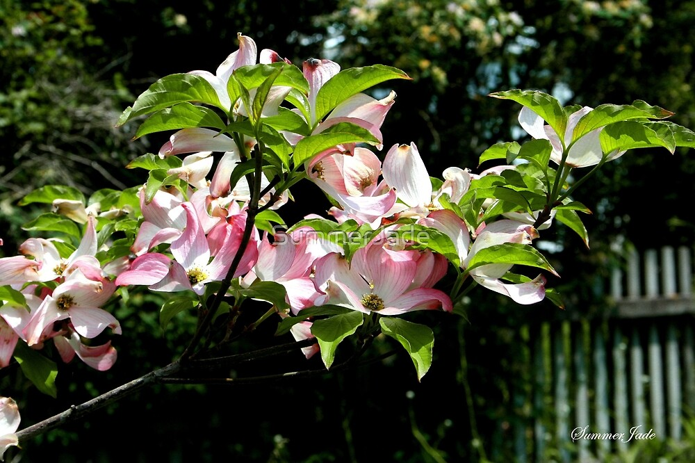 Springtime Blooming Dogwood by SummerJade