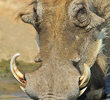 Warthog Pleasure - Quench of Life and Joy by LivingWild