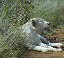 Lion by Hermien Pellissier