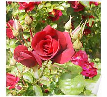 Only a rose . . . . Kilmore East Victoria Australia Poster