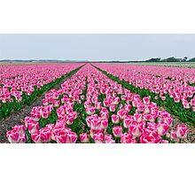 Field of White and Pink Tulips Photographic Print