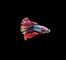 Fancy Siamese Fighting Fish by Betta-Fish