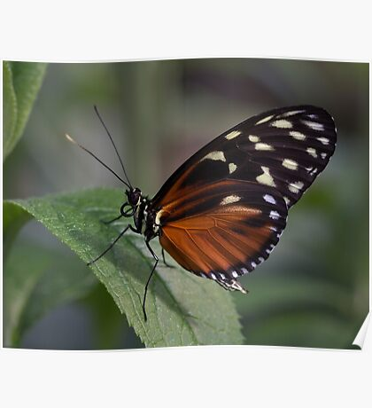 Macro Orange and Black Butterfly Poster