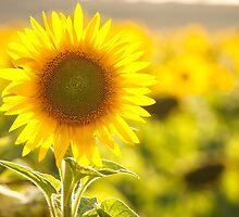 Sunflower by LizSB