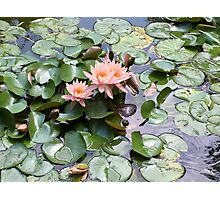 Pink Water Lilies And Turtle Photographic Print
