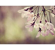 The Beauty of Weeping - Weeping Cherry Photographic Print