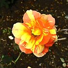 Yellow and Orange Rose by Shulie1