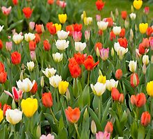 Plenty tulips mix grow in garden  by Arletta Cwalina