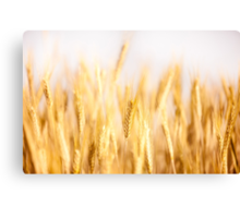 Golden cereal ears grow on field  Canvas Print