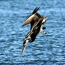DIVING BROWN PELICAN by TomBaumker