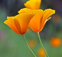 Golden Tufted Poppy by John Butler