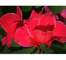 Velvety red lilies Photographic Print