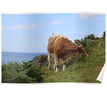irish cow on a hillside **moo** Poster