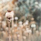 Oxford Poppy by Bob Daalder