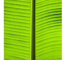 Close-up on Green banan leaf background Photographic Print