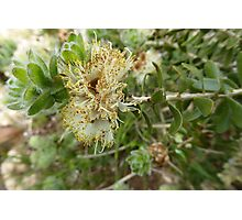 Australian Native Melaleuca megacephala full flower & seeds. Photographic Print