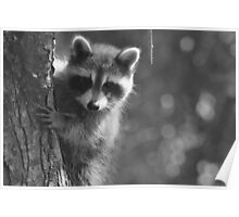 Peek-a-boo! /Baby Raccoon in black and white Poster