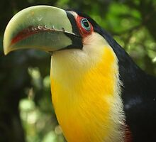 Green Billed Toucan_Tucano Bico Verde by centraldafoto