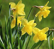Daffodil Dreams by hummingbirds