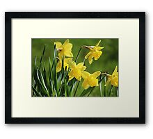 Daffodil Dreams Framed Print