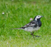 Pied Wagtail Sticker
