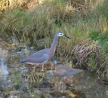 White Faced Heron! North Haven larger Pt. Macquarie, N.S.W. Nth. Coast. by Rita Blom