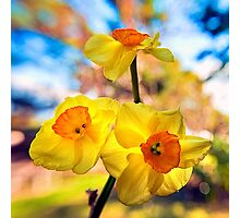 Jonquils in the sunlight Photographic Print